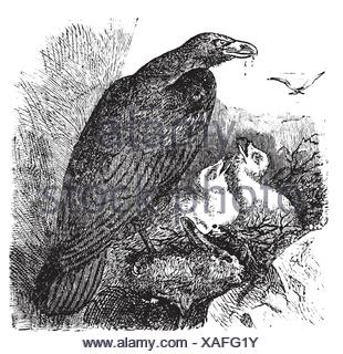 Golden eagle or Aquila chrysaetos vintage engraving, vector  Old engraved illustration of a golden eagle feeding her babies in her nest - Stock Photo