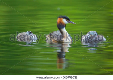 great crested grebe (Podiceps cristatus), adult bird with two young animals on the water, Germany - Stock Photo