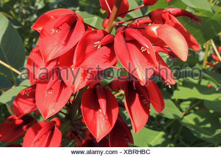cockspur coral tree, crying baby (Erythrina crista-gallii), blooming - Stock Photo
