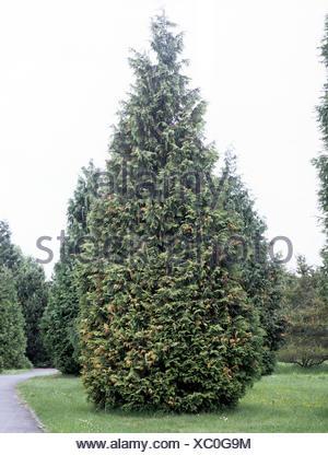 Thuja Giftig lebensbaum ast zweig aestchen smaragd thuja occidentalis stock