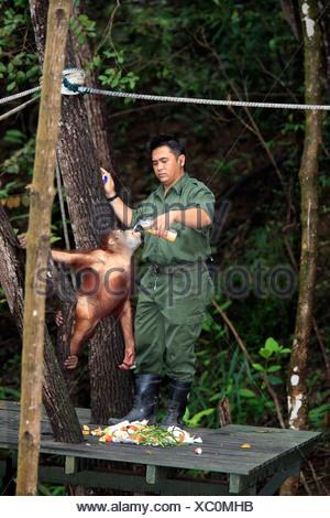 Bornean orangutan (Pongo pygmaeus), young being bottle-fed by a keeper, Sepilok Rehabilitation Centre, Sabah, , Asia - Stock Photo