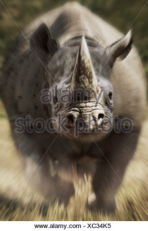 Charging black rhinoceros Kenya - Stock Photo