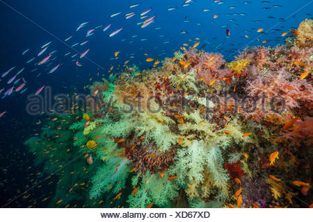 Colored Soft Corals, Nephthea sp, Felidhu Atoll, Maldives - Stock Photo