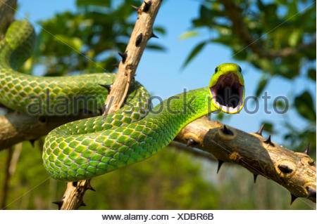 Green tree snake (Phyllodryas viridissima) on a branch about to stike, Bolivian Amazonia, controlled conditions - Stock Photo