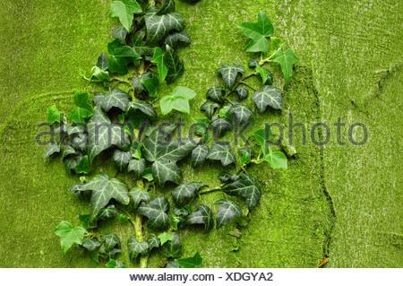 Ivy - Stock Photo