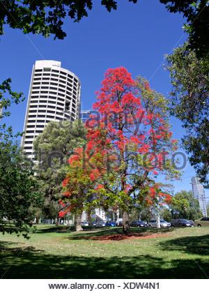 BRACHYCHITON ACERIFOLIUS  AUSTRALIAN FLAME TREE  TREASURY GARDENS  MELBOURNE  AUSTRALIA - Stock Photo