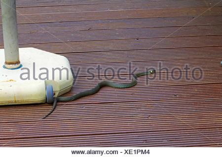 Garten Rostock grass snake natrix natrix grass snake sunbathing on a terrace