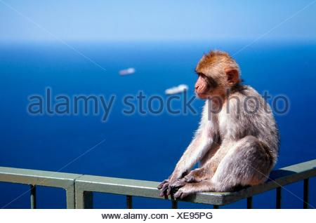 Gibraltar (United Kingdom). Close-up of a Gibraltar Monkey on top of the rock. - Stock Photo