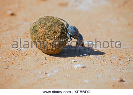 Flightless dung beetle (Circellium bacchus), rolling a dung ball, South Africa, Eastern Cape, Addo Elephant National Park - Stock Photo