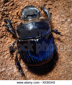 zoology / animals, insect, beetles, Dung Beetle, (Scarabaeus sacer), in sand, Kenya, distribution: Southern Europe, Africa, Cole - Stock Photo