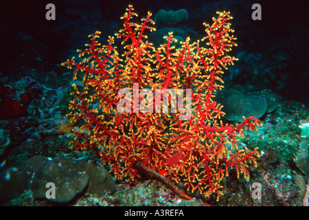 Weiche Korallen Siphonogorgia sp Similan Islands marine Sanctuary Thailand-Andamanensee - Stockfoto