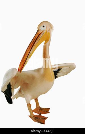 Weißer Pelikan Pelecanus Onocrotalus große Vögel, die in Kolonien Leben. Haben webbed Zehen und lange abgeflachten - Stockfoto