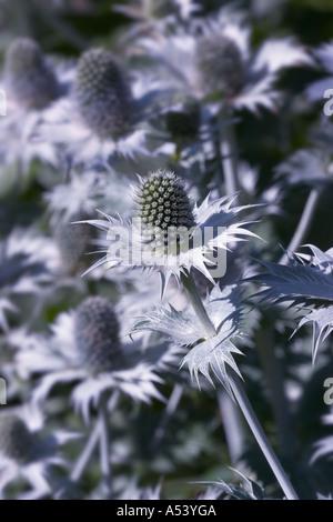 eryngium alpinum blaue sterne sea holly distel disteln wei grau blume blumen bl te mehrj hrige. Black Bedroom Furniture Sets. Home Design Ideas