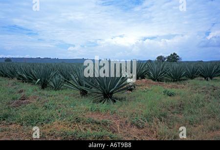 sisal agave agave sisalana plantage kenia stockfoto bild 136721295 alamy. Black Bedroom Furniture Sets. Home Design Ideas