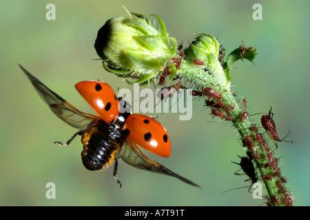 Nahaufnahme der sieben-Punkt-Marienkäfer (Coccinella Septempunctata) fliegen in der Nähe von bud - Stockfoto