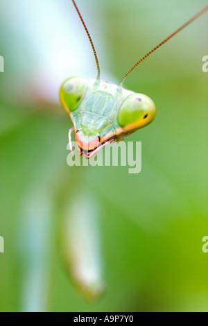 Makro-Detail des Leiters der Gottesanbeterin auf Grünpflanze - Stockfoto