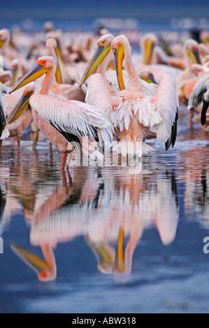 Weißer Pelikan Pelecanus Onocrotalus ruhen und putzen auf See Ufer Lake Nakuru Nationalpark Kenia - Stockfoto