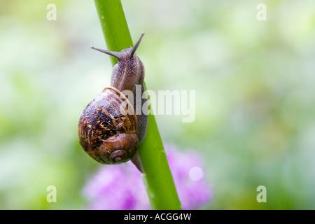 Cornu Aspersum. Schnecke kroch ein Blütenstiel in einem englischen Garten - Stockfoto