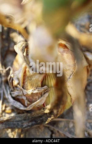 Zwiebel in Garten, extreme Nahaufnahme - Stockfoto