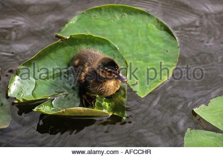 Niederlande Graveland Entenküken auf Blättern und im Wasser - Stockfoto