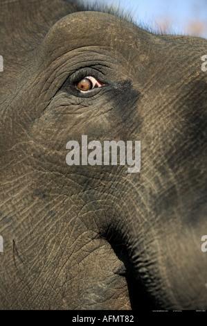 Nahaufnahme eines indischen Elefanten s Auge Bandhavgarh Indiens - Stockfoto