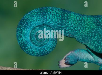 Heck des Pantherchamäleon (Furcifer pardalis) Madagaskar - Stockfoto