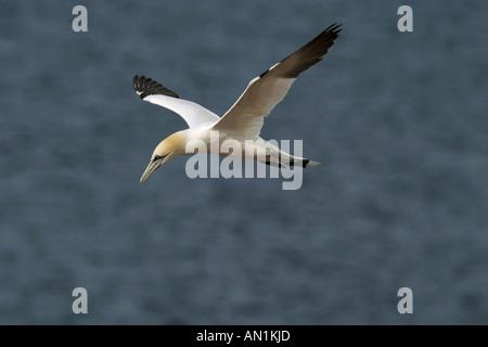 Basstölpel - fliegen Sula bassana - Stockfoto
