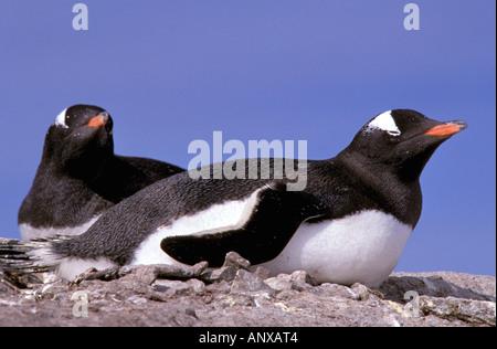 Antarktis, antarktische Halbinsel, Peterman Island. Gentoo Penguins (Pygoscelis Papua) - Stockfoto