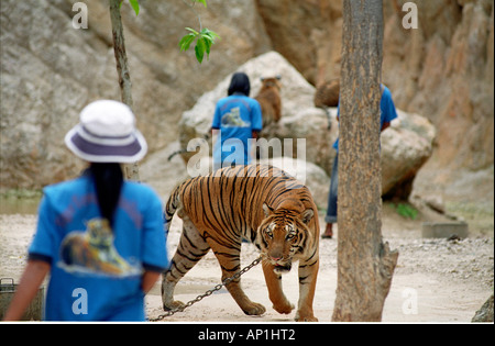 THAILAND-HALTER IN BLAU UND TOURISTEN ERFAHRUNG ENGEN KONTAKT MIT TIGER IM TIGER TIGER BUDDHISTISCHEN TEMPEL KANCHANABURI - Stockfoto