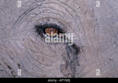 Indische Elefanten Nahaufnahme Auge Bandavgarh Indien - Stockfoto