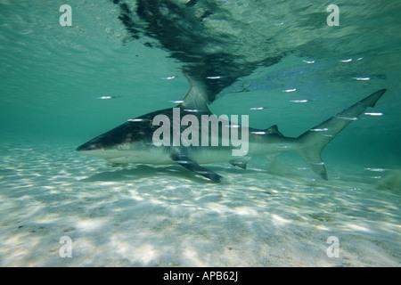 Schwarzspitzen Haie Carcharhinus Limbatus Bahamas Atlantik - Stockfoto