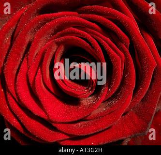 Eine rote rose mit Tröpfchen Tau auf Blütenblätter, Nahaufnahme - Stockfoto