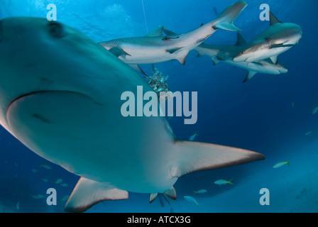 Karibische Riffhaie, Fütterung, Unterwasser, blaues Wasser, Ozean, Meer, Tauchen, Tauchen, Haie, Raubtier, danerous - Stockfoto