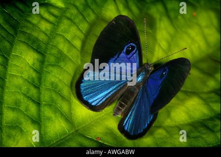 Blauer Schmetterling in der Nähe von Cana Feldstation in Darien Nationalpark Darien Provinz, Republik von Panama. - Stockfoto