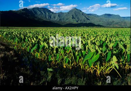 Taro-Felder in Hanalei Tal Kauai Hawaii USA August 1996 - Stockfoto