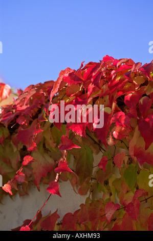 Bildergebnis für wilde Reben im Herbst