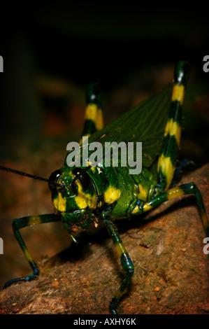 Grün und Gelb Heuschrecke im Regenwald am Cerro Pirre, Darien Nationalpark, Darien Provinz, Republik Panama. - Stockfoto