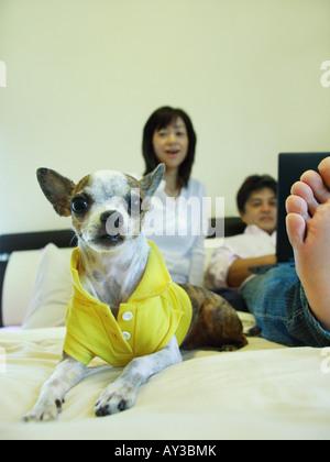 Chihuahua-Welpe auf dem Bett liegend, mit einer Mitte erwachsenes paar mit einem Laptop im Hintergrund - Stockfoto