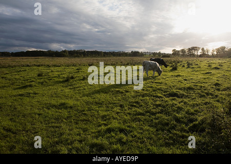 Grasende Kühe auf Feld - Stockfoto