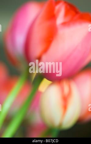 Tulpe Blumen, Nahaufnahme, SKAGIT VALLEY WASHINGTON - Stockfoto