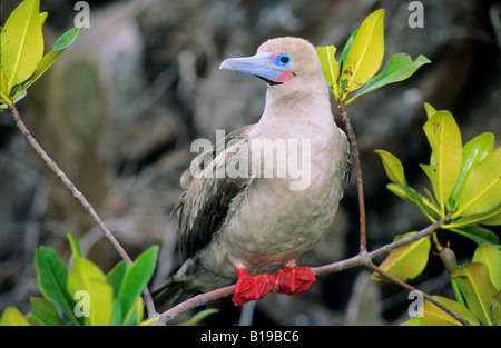 red footed booby sula sula wei e phase halfmoon caye audubon sanctuary belize stockfoto bild. Black Bedroom Furniture Sets. Home Design Ideas