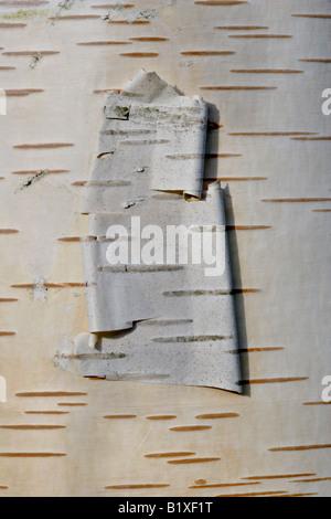 Rinde des weißen Himalaya-Birke (Betula Utilis)-peeling - Stockfoto