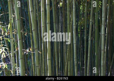 Bambus - Stockfoto