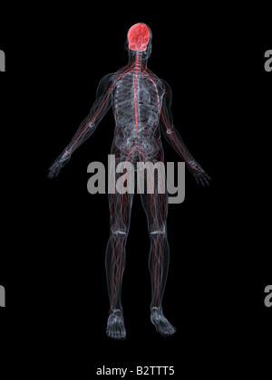 Nervensystem - Stockfoto