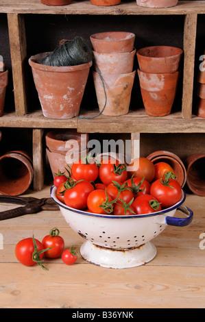 Frisch gepflückt selbst angebaute Tomaten in Küche Sieb im rustikalen Potting Shed-Einstellung - Stockfoto