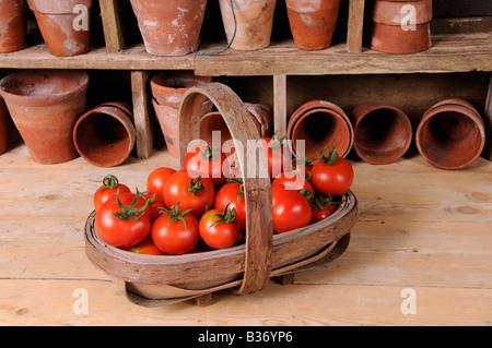 Frisch gepflückt selbst angebaute Tomaten in Trug im rustikalen Potting Shed-Einstellung - Stockfoto