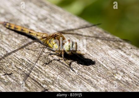 Libelle, sonnen sich auf dem Zaun - Stockfoto