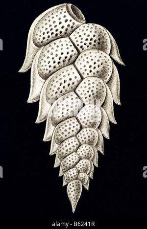 Thalamophora / Kammerlinge, Name Schale, Haeckel, Kunstformen der Natur, Jugendstil, 20. Jahrhundert, Europa - Stockfoto