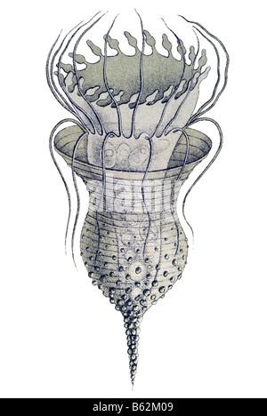 Ciliata / Wimperlinge Name Stentor, Haeckel, Kunstformen der Natur, Jugendstil, 20. Jahrhundert, Europa - Stockfoto