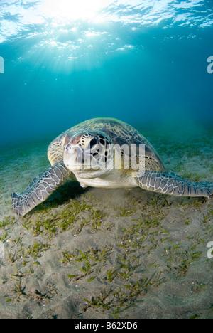 Grüne Meeresschildkröte, Chelonia Mydas, Fütterung auf das Seegras. - Stockfoto